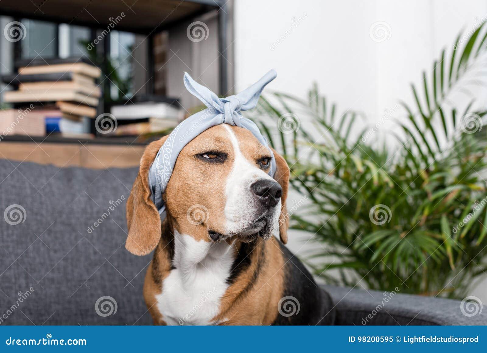 Download Собака бигля в сером Bandana сидя на софе Стоковое Изображение - изображение насчитывающей блестящий, разведенными: 98200595