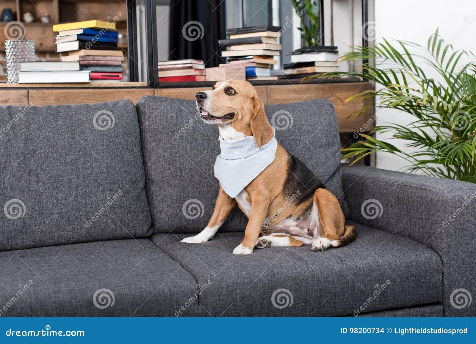Download Собака бигля в сером Bandana сидя на софе Стоковое Фото - изображение насчитывающей indoors, чистоплемено: 98200734