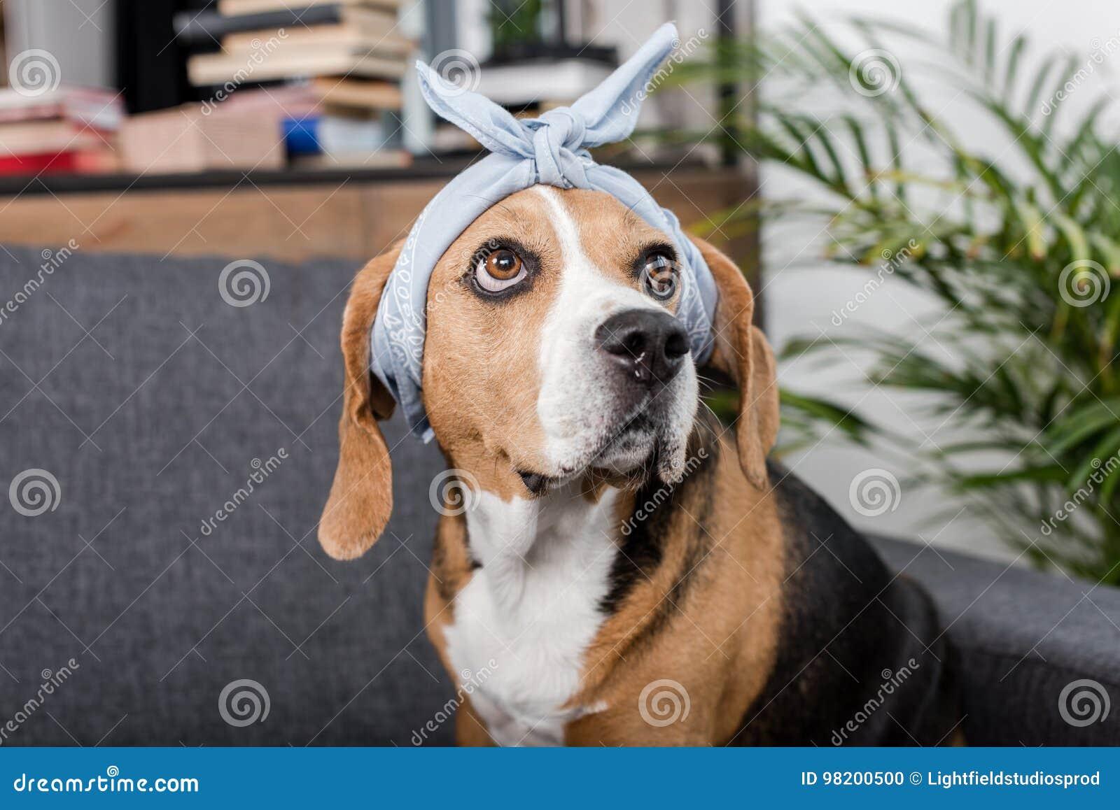 Download Собака бигля в сером Bandana сидя дома Стоковое Фото - изображение насчитывающей блестящий, peed: 98200500