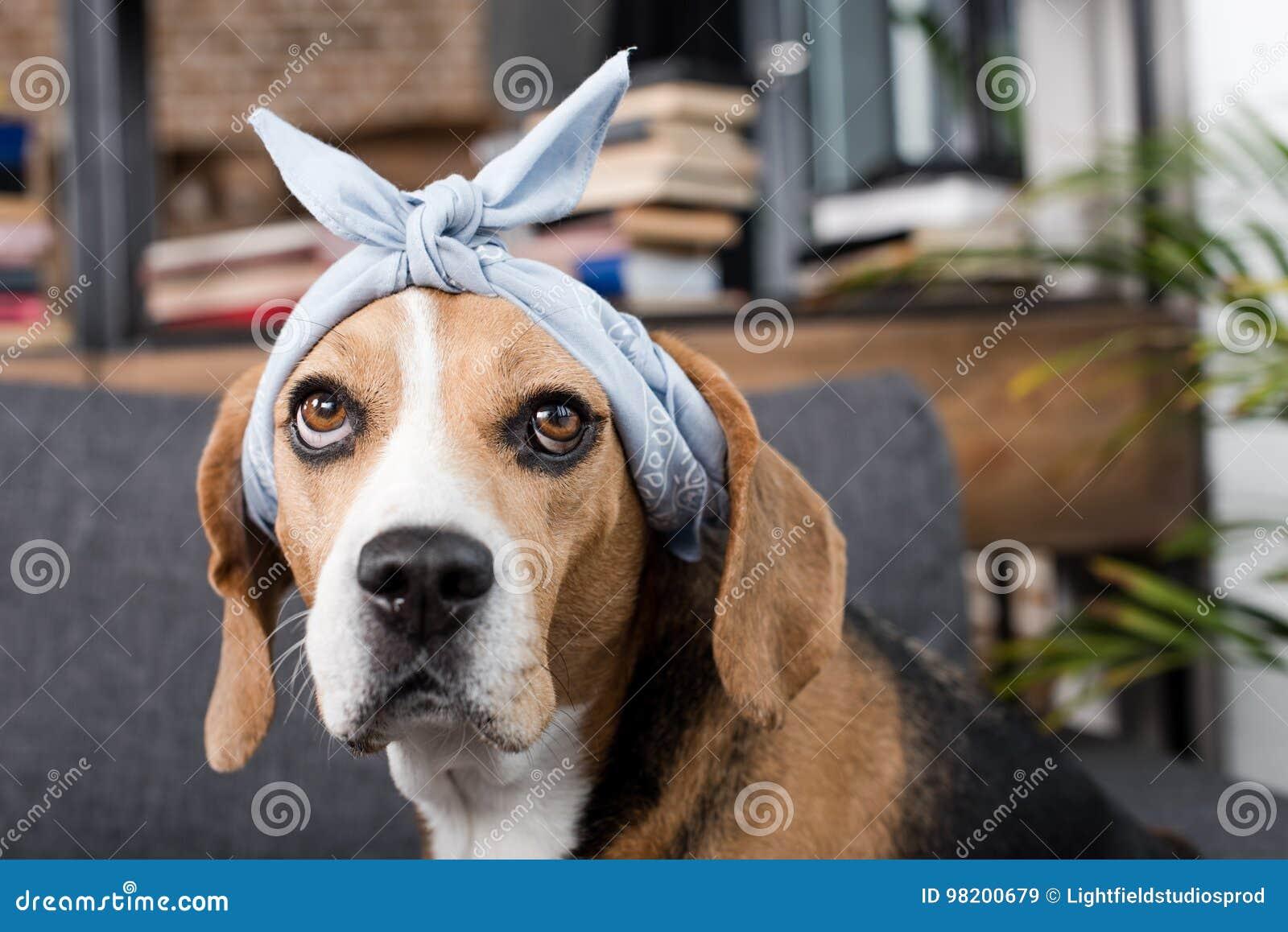 Download Собака бигля в сером Bandana сидя дома Стоковое Изображение - изображение насчитывающей собач, собака: 98200679
