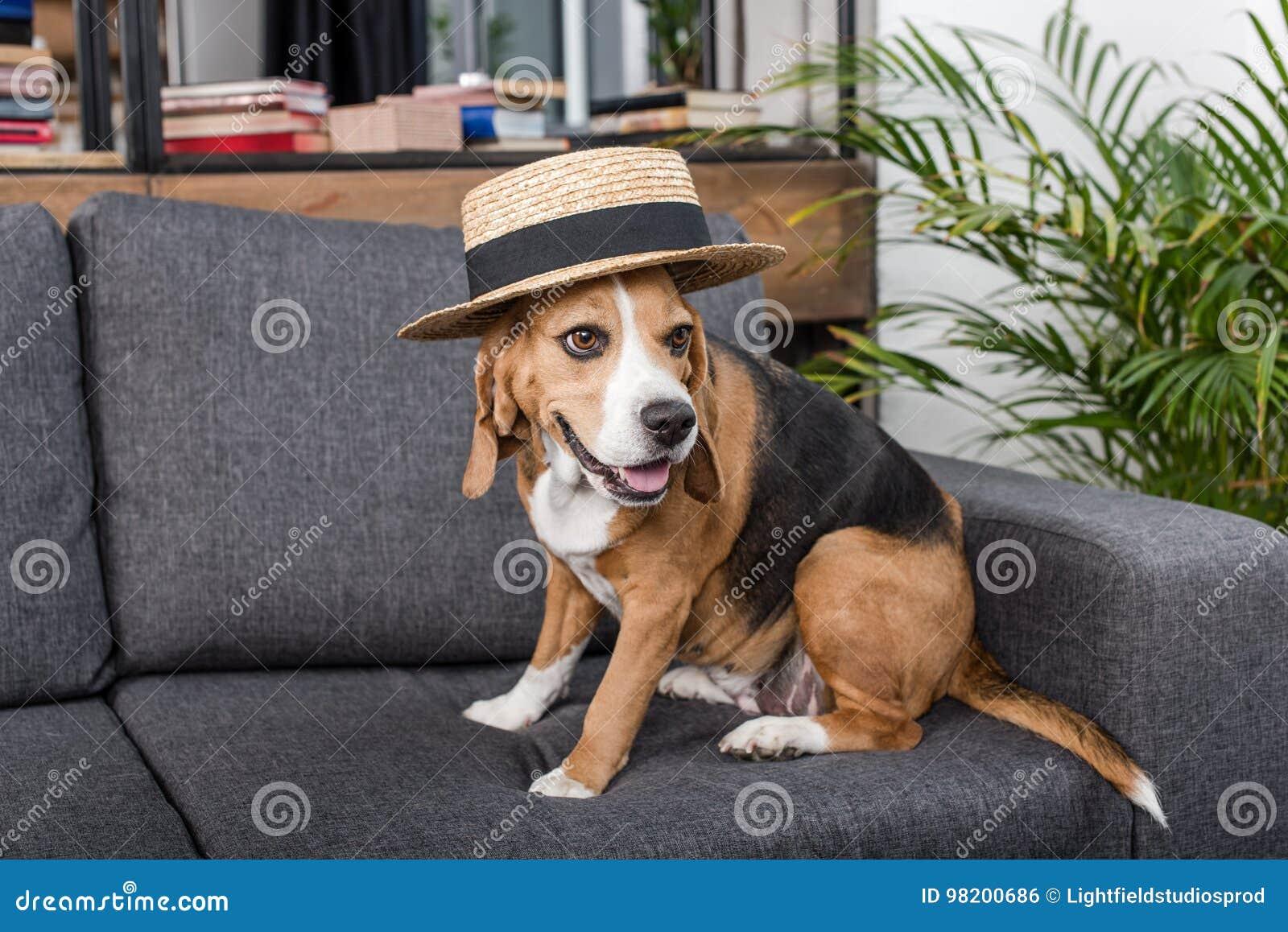 Download Собака бигля в соломенной шляпе сидя на софе Стоковое Фото - изображение насчитывающей собака, меховой: 98200686