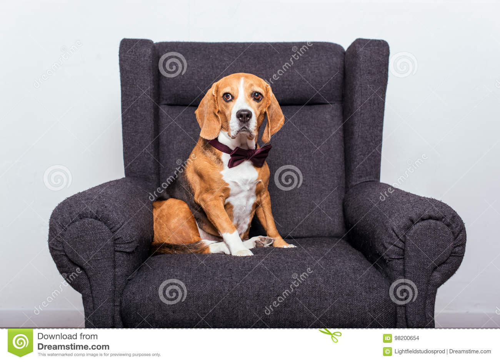 Download Собака бигля в усаживании бабочки Стоковое Фото - изображение насчитывающей разведенными, armful: 98200654