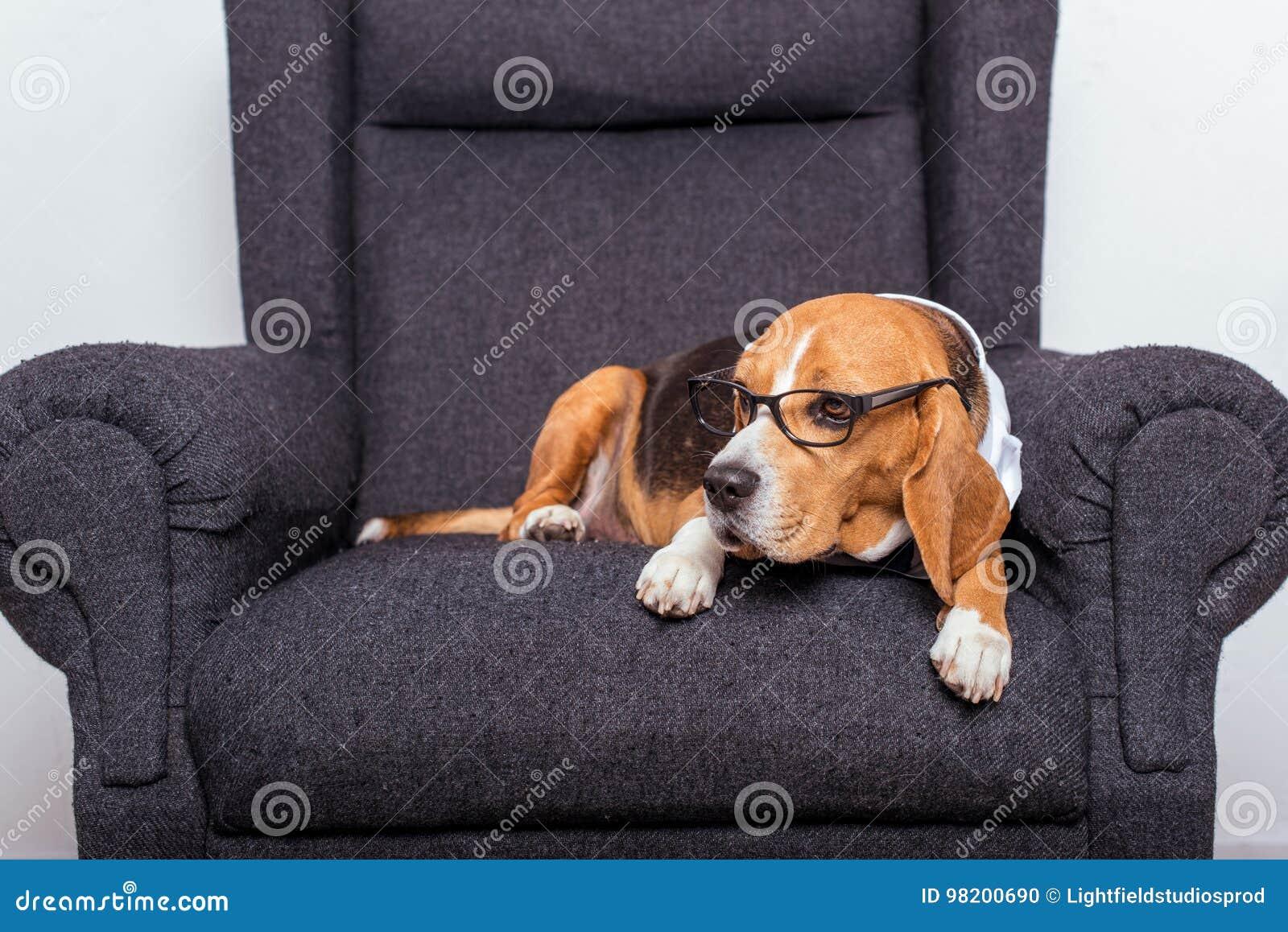 Download Собака бигля в Eyeglasses лежа на сером кресле Стоковое Фото - изображение насчитывающей дом, содружественно: 98200690
