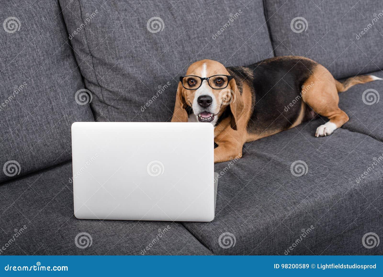 Download Собака бигля в Eyeglasses смотря компьтер-книжку пока лежащ на софе Стоковое Изображение - изображение насчитывающей книжка, eyeglasses: 98200589