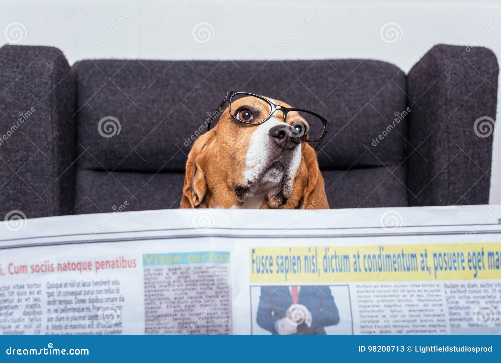 Download Собака бигля в Eyeglasses читая газету пока сидящ на сером кресле Стоковое Изображение - изображение насчитывающей блестящий, содружественно: 98200713