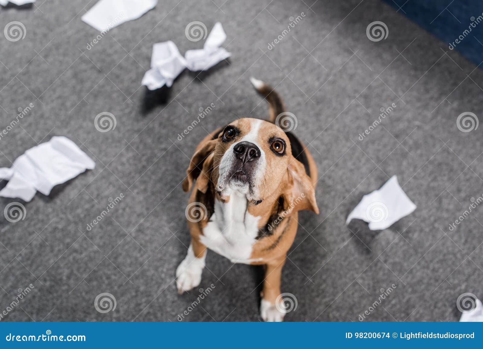 Download Собака бигля при сорванная бумага сидя на поле и смотря вверх Стоковое Фото - изображение насчитывающей собака, блестящий: 98200674