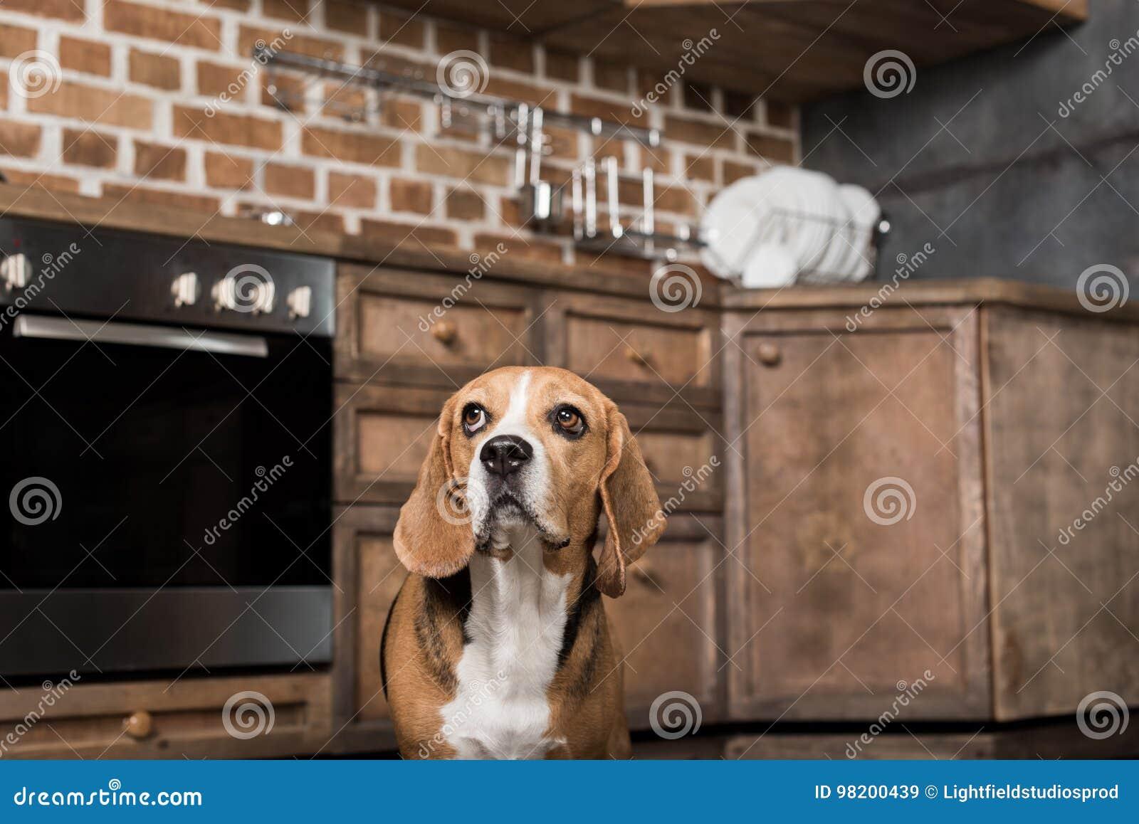 Download Собака бигля смотря вверх пока стоящ в кухне Стоковое Изображение - изображение насчитывающей содружественно, indoors: 98200439