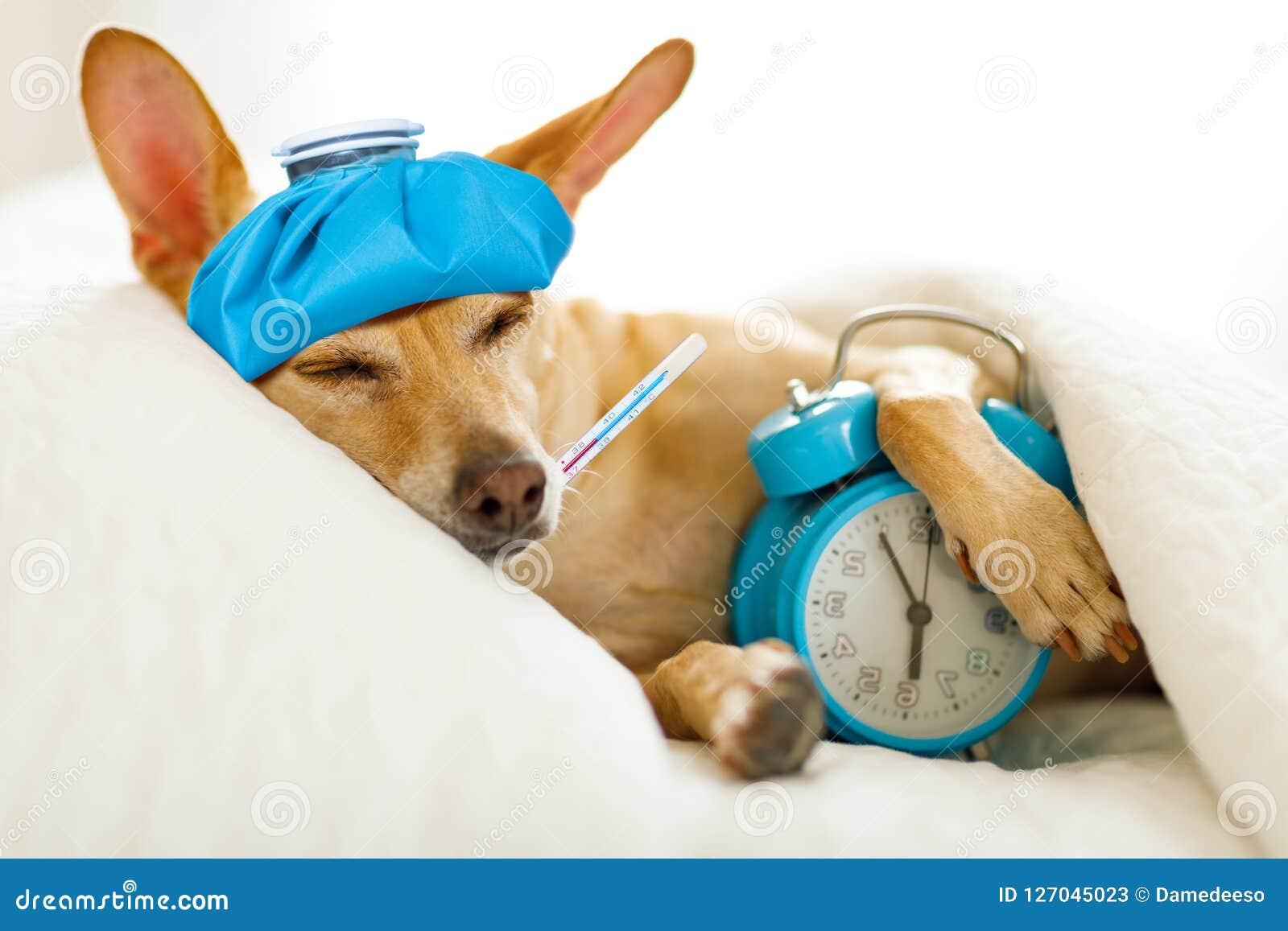 Собака больная или больная в кровати