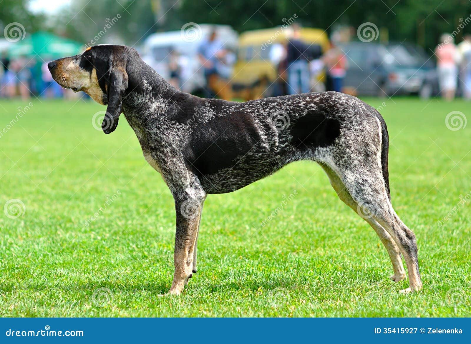 Собака. Большое голубое Gascon