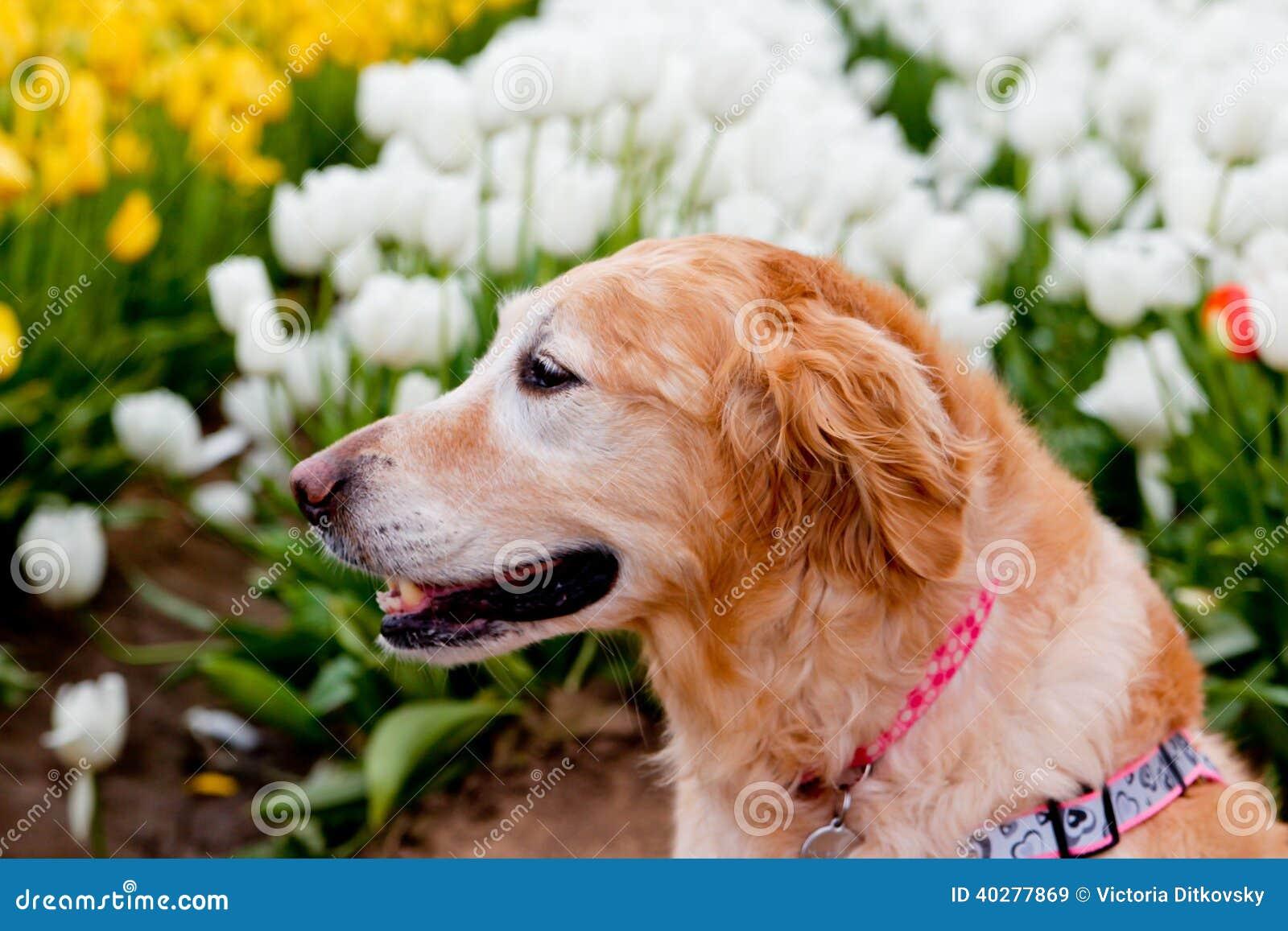 Собака в поле тюльпана