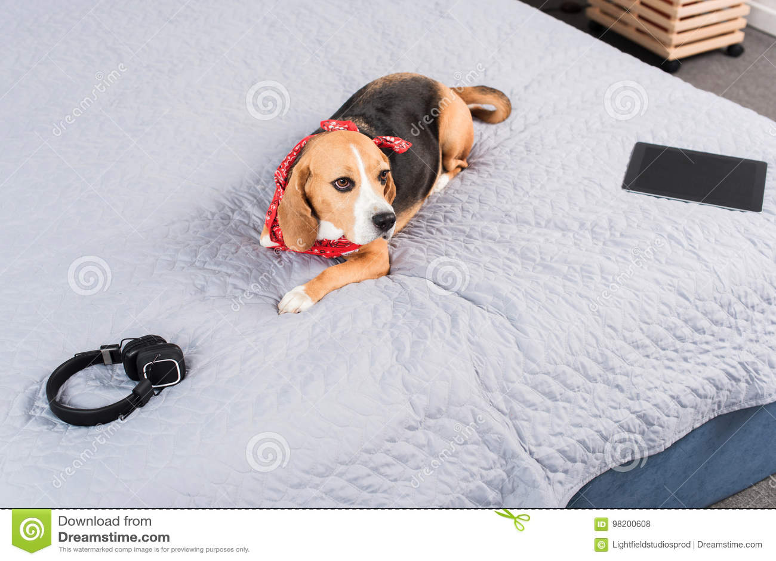 Download Собака в Bandana лежа на кровати с цифровыми таблеткой и наушниками Стоковое Фото - изображение насчитывающей bedaub, peed: 98200608