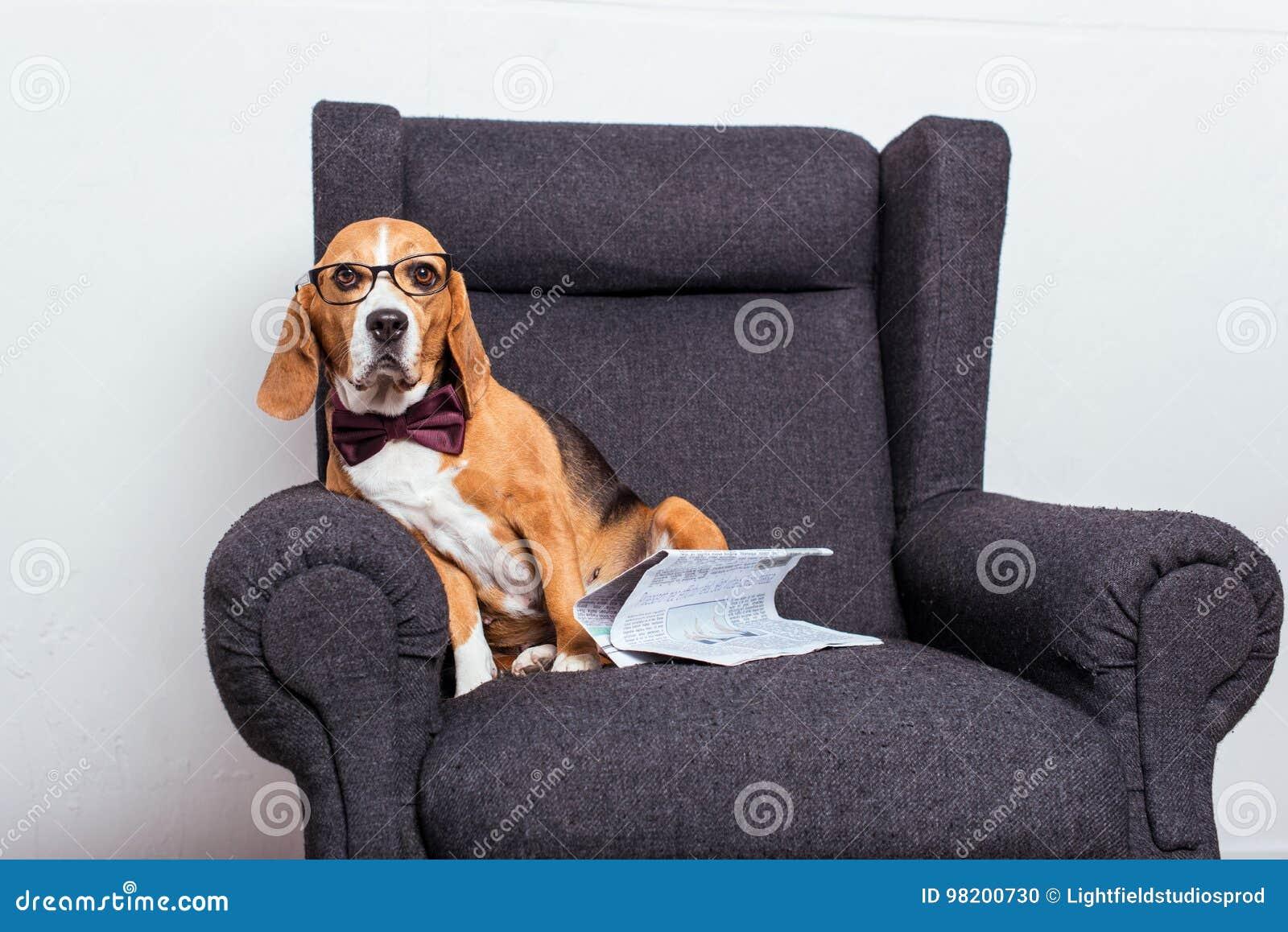 Download Собака в Eyeglasses и бабочке сидя на сером кресле с газетой Стоковое Фото - изображение насчитывающей пушисто, indoors: 98200730