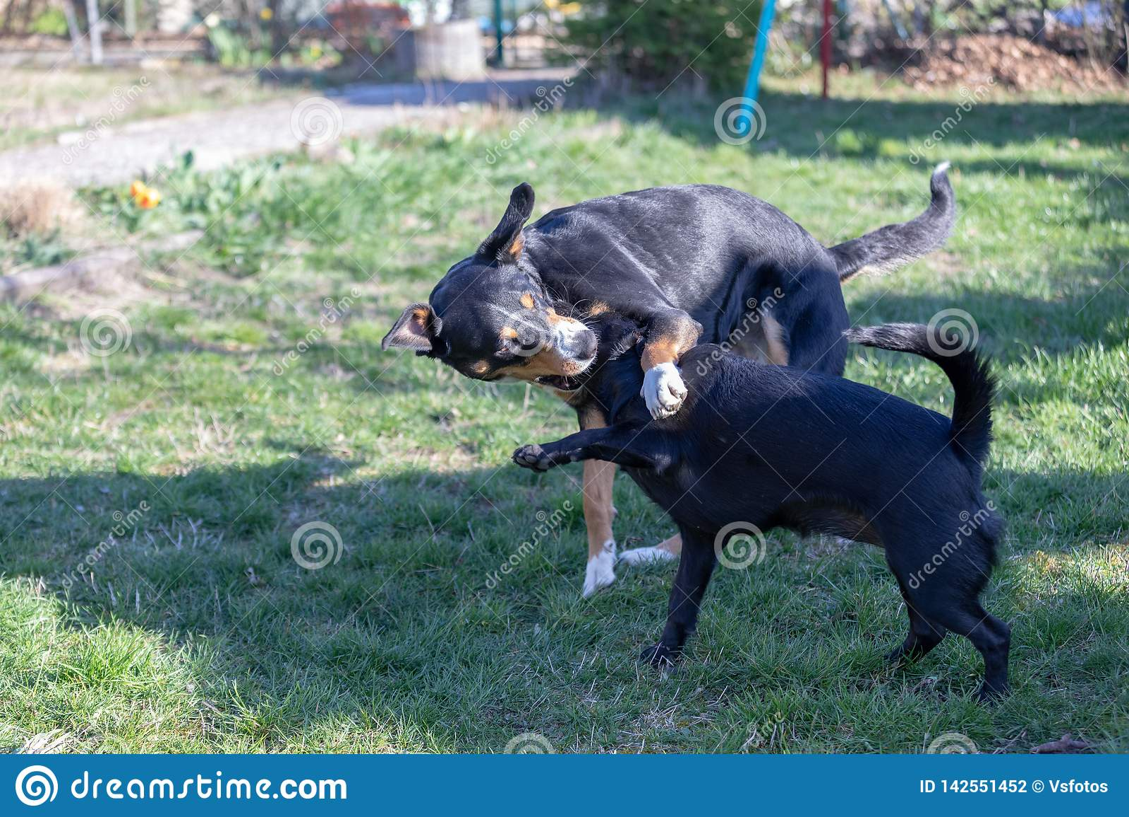Собака горы Appenzeller играет с щенком смешивания Лабрадор outdoors