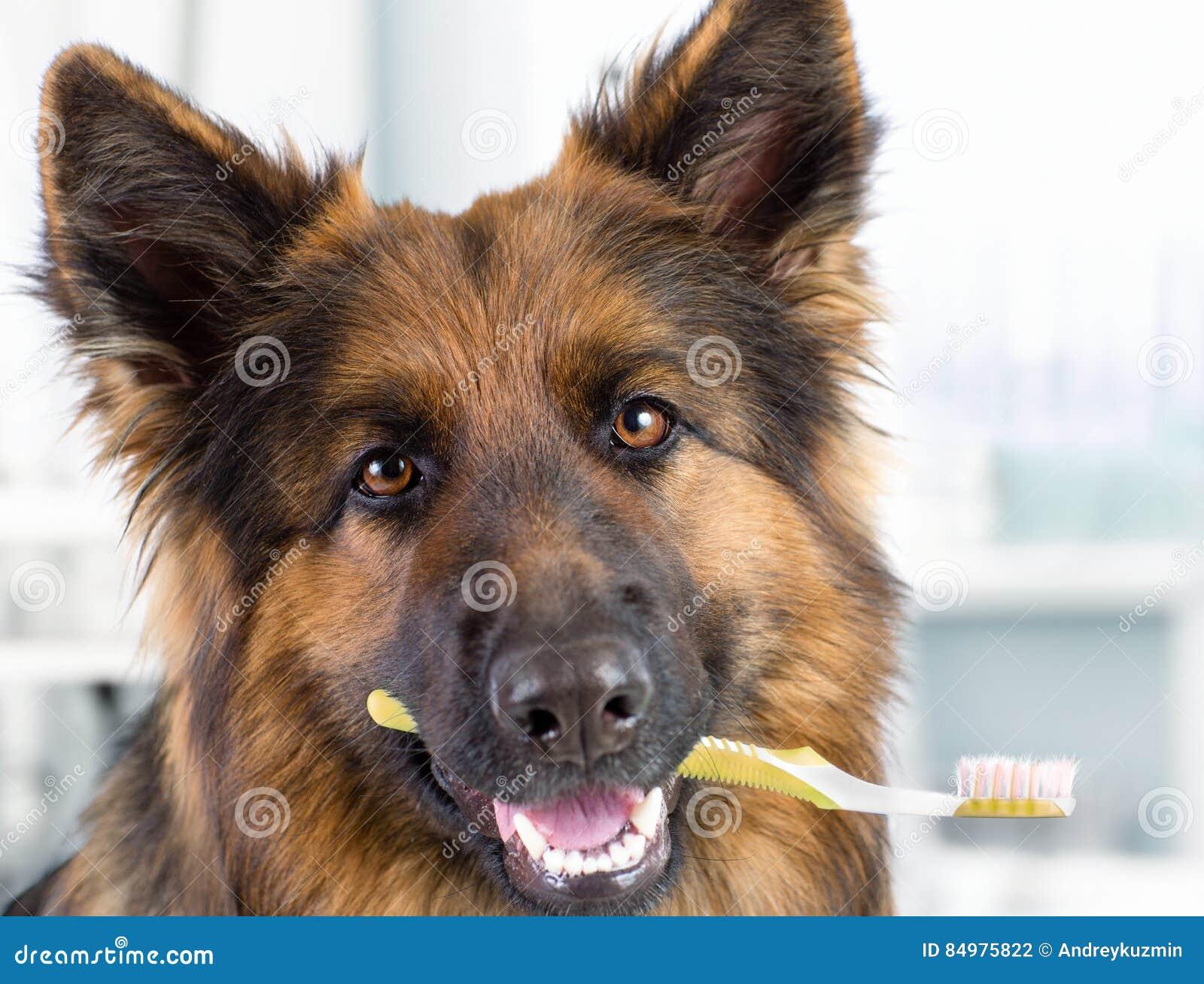 Собака держа зубную щетку в рте