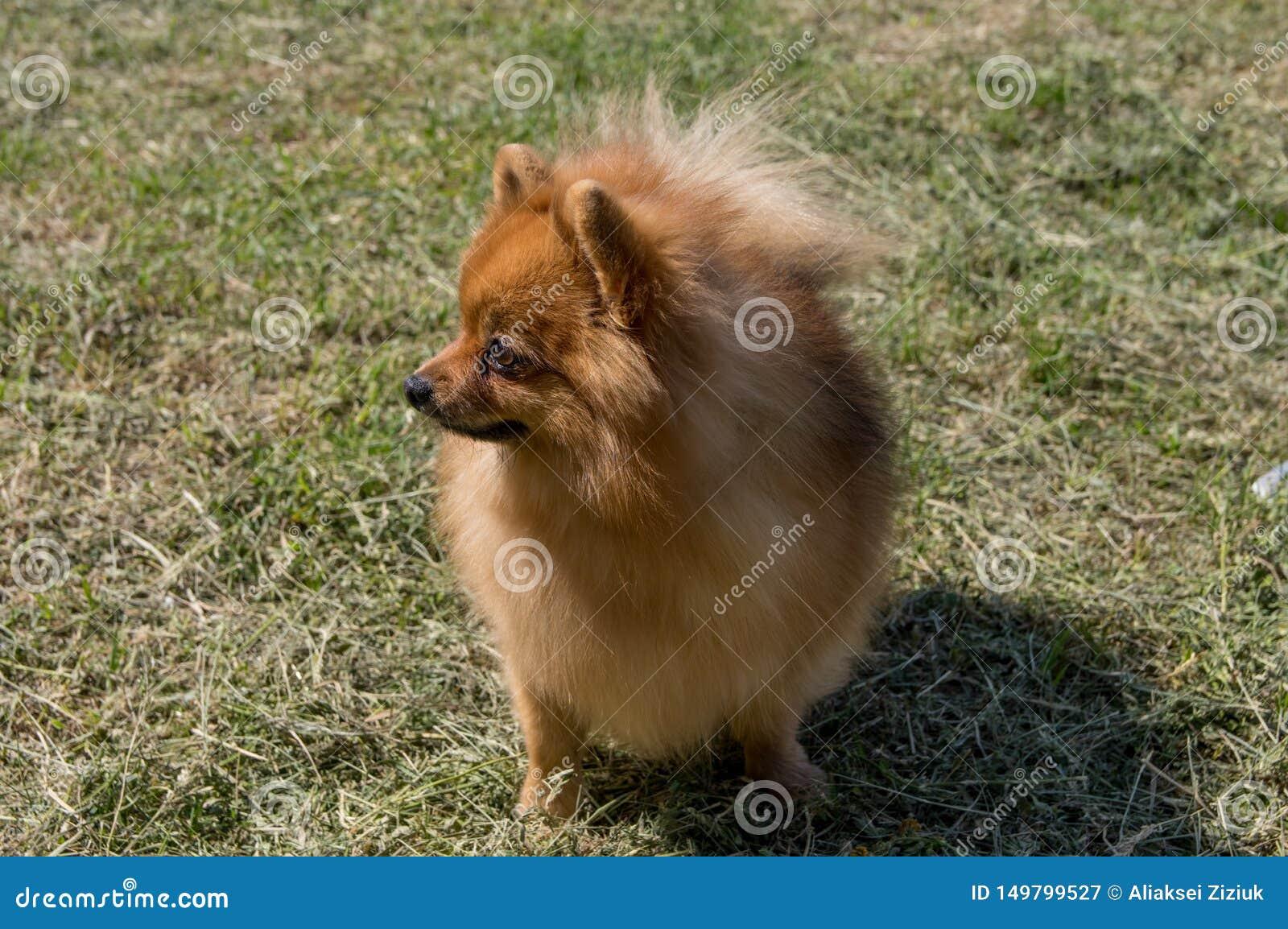 Собака желта, без сокращений Немецкий пигмей pomeranian