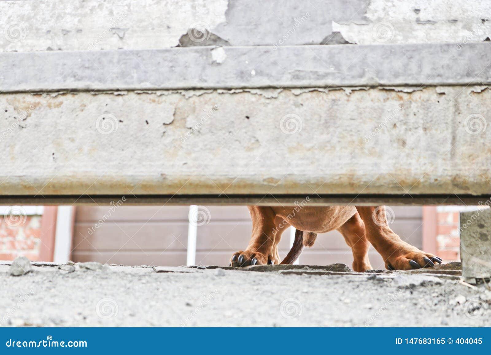 Собака защищает дом и смотрит прохожих Барсук-собака Брауна немецкая - собака предохранителя Жалуясь взгляд doggy