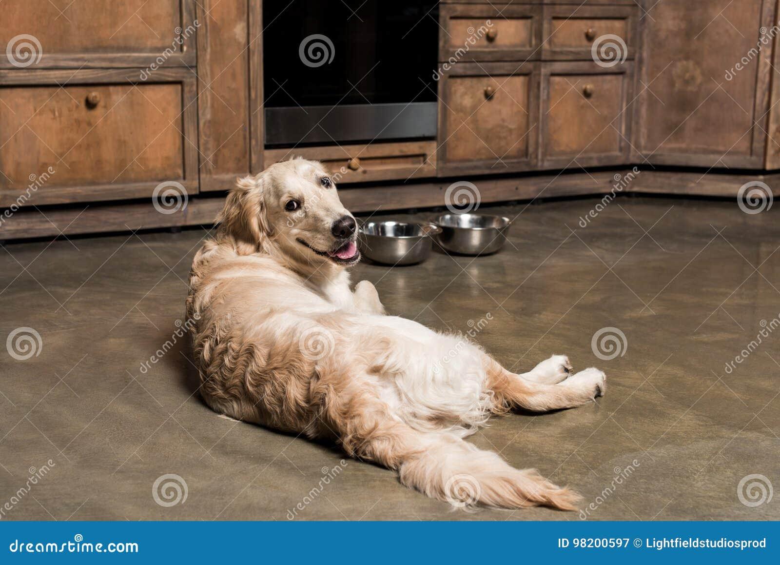 Download Собака золотого Retriever лежа на металлических шарах в кухне Стоковое Изображение - изображение насчитывающей пушисто, mammal: 98200597