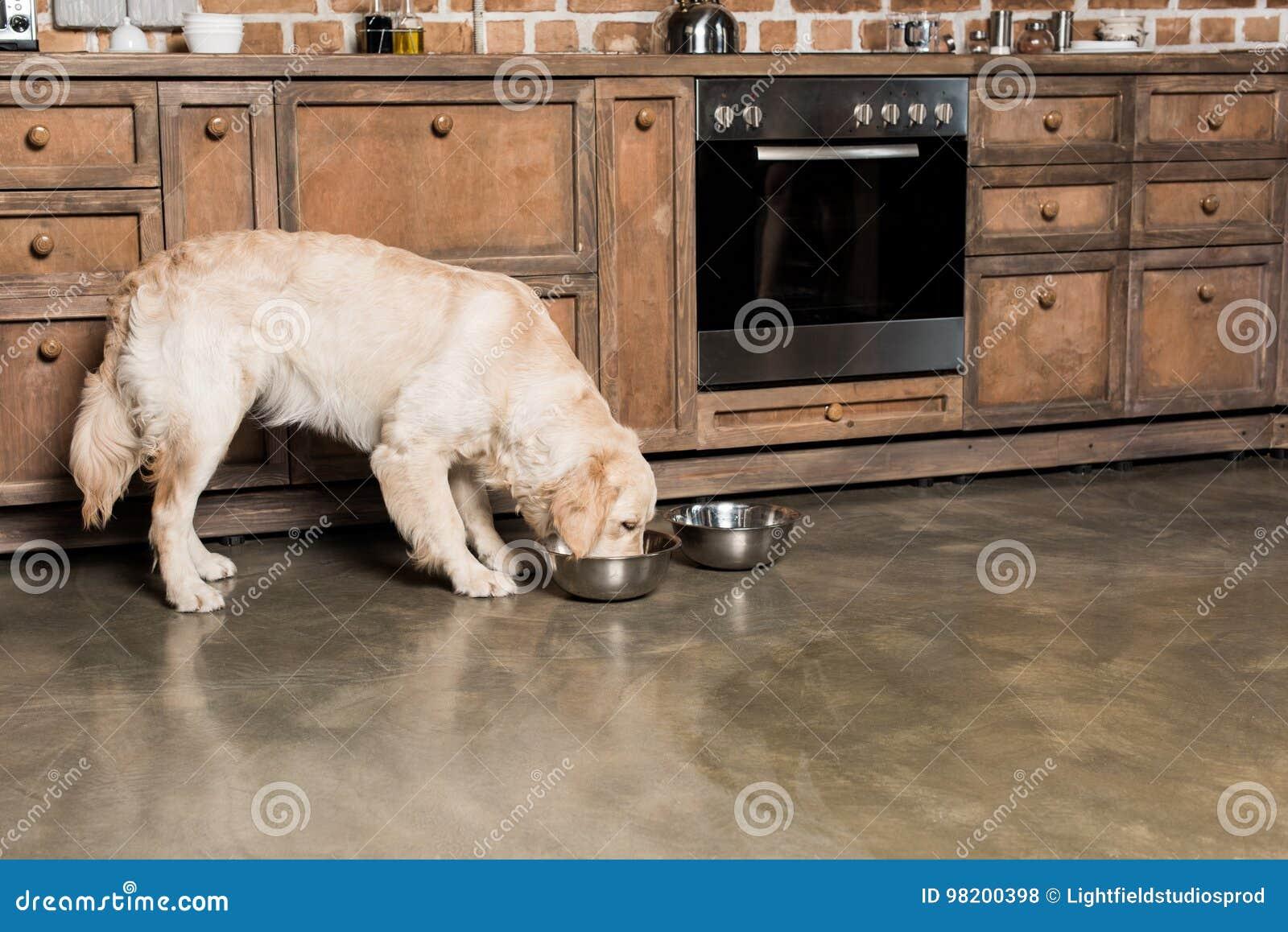 Download Собака золотого Retriever есть от металлических шаров в кухне Стоковое Фото - изображение насчитывающей собач, друг: 98200398