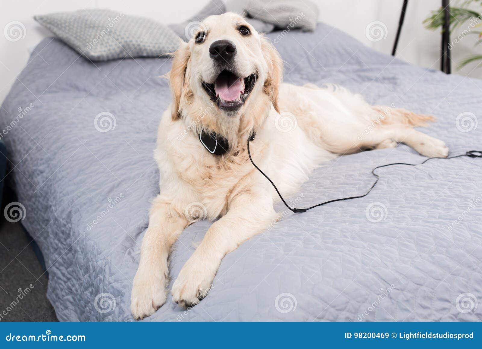 Download Собака золотого Retriever при наушники лежа на кровати Стоковое Изображение - изображение насчитывающей пушисто, beefburgers: 98200469
