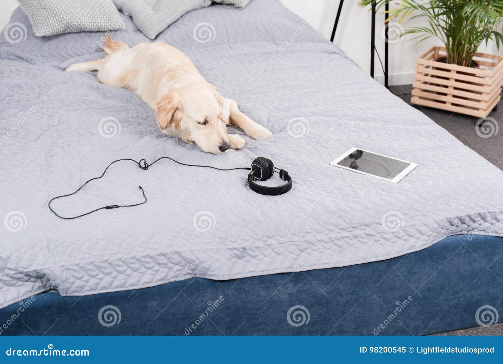 Download Собака золотого Retriever при наушники и цифровая таблетка лежа на кровати Стоковое Изображение - изображение насчитывающей отдыхать, beefburgers: 98200545