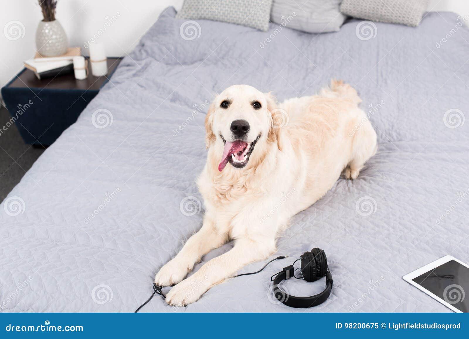 Download Собака золотого Retriever при наушники и цифровая таблетка лежа на кровати Стоковое Изображение - изображение насчитывающей разведенными, беспроволочно: 98200675