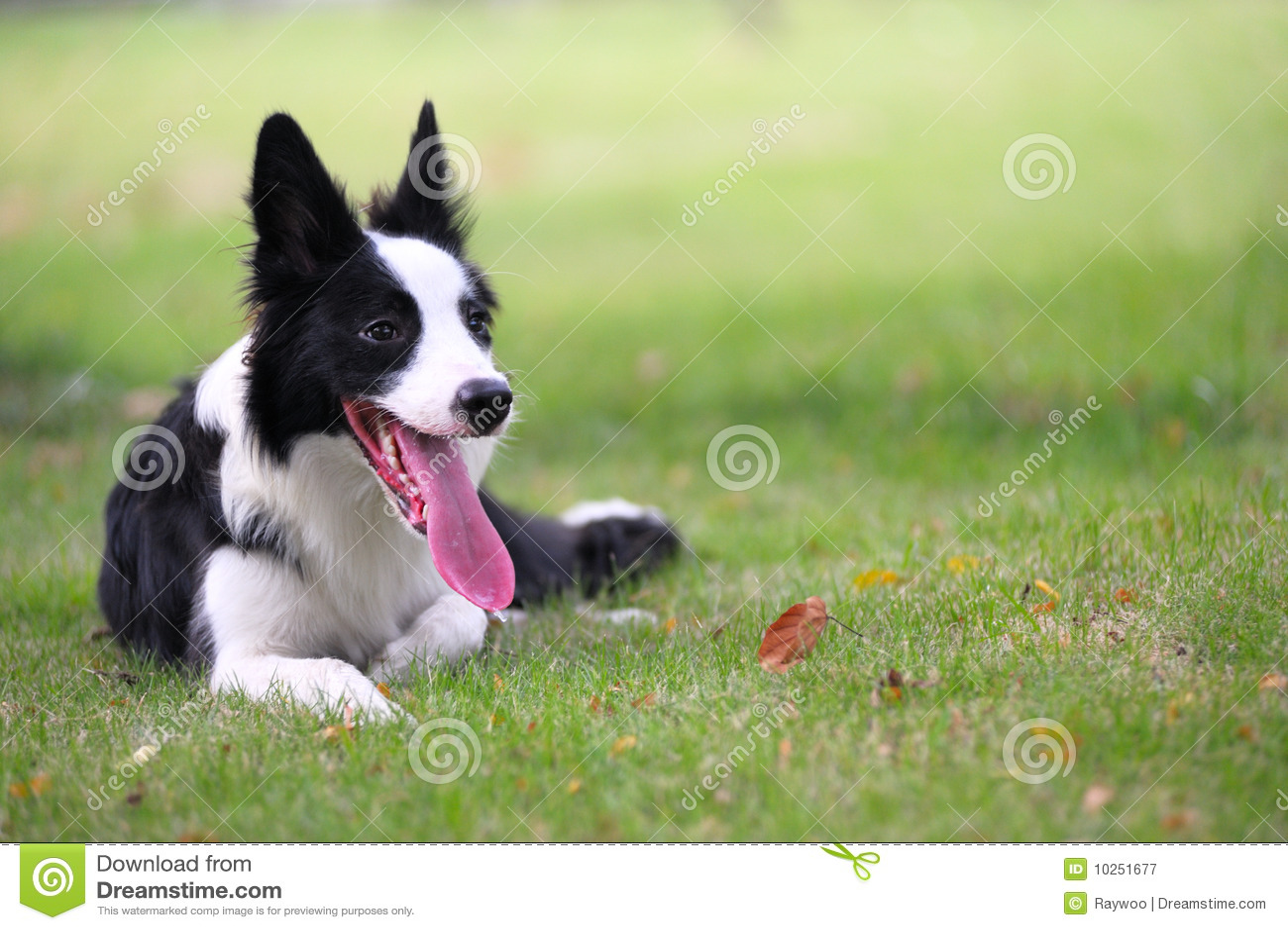 собака Коллиы граници