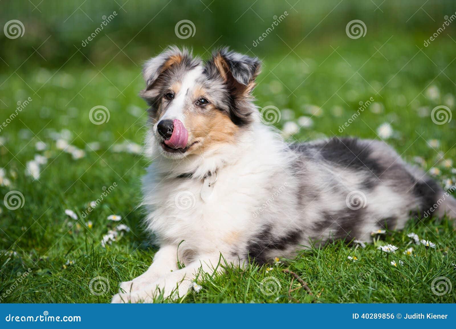 Собака Коллиы