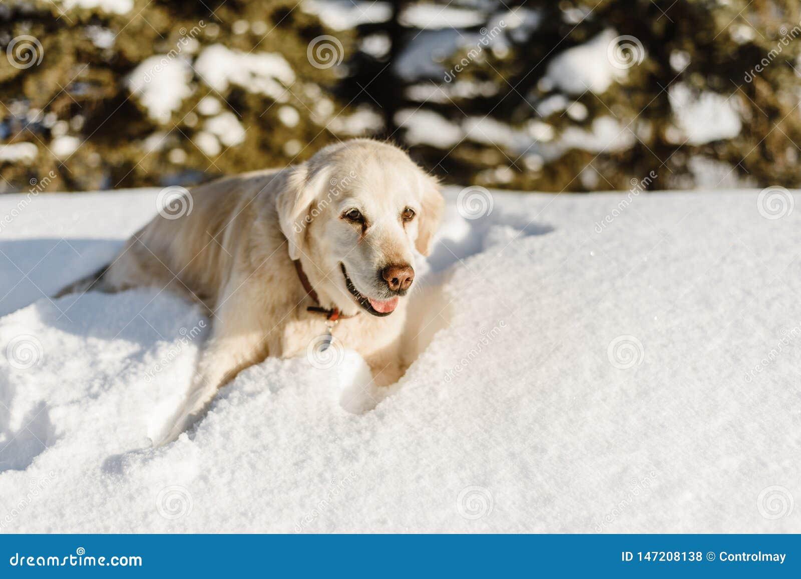 Собака Лабрадор в снеге