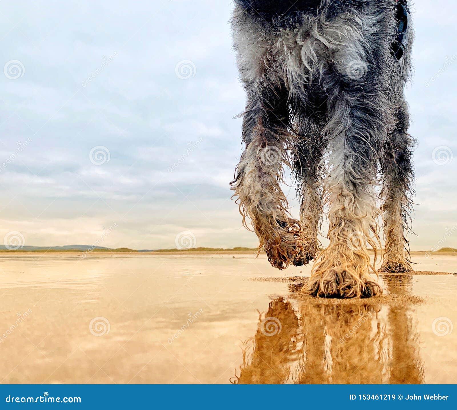 Собака миниатюрного шнауцера идя на дезертированный песчаный пляж