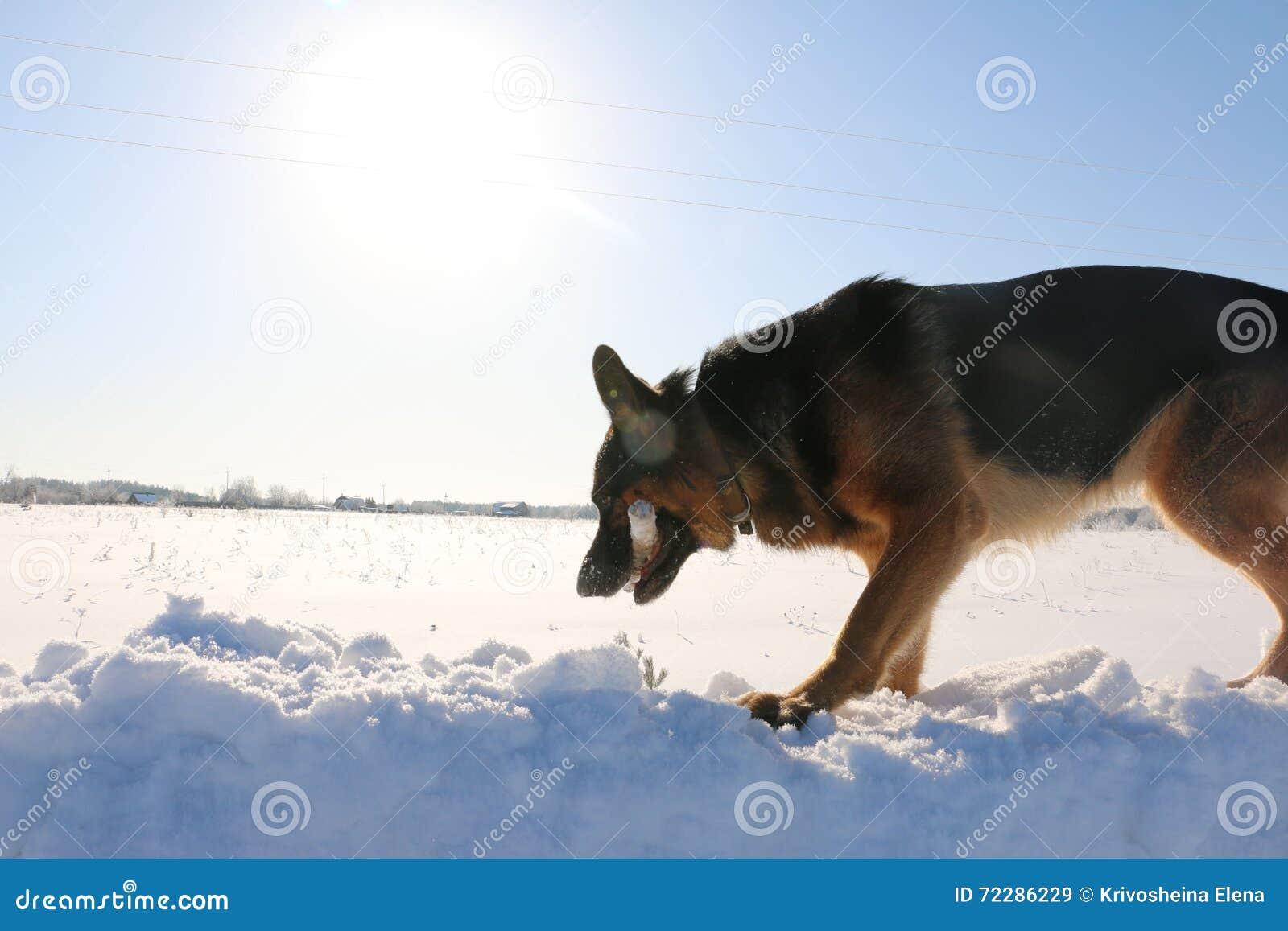 Download Собака немецкой овчарки на снеге Стоковое Изображение - изображение насчитывающей обеспеченность, повиновение: 72286229