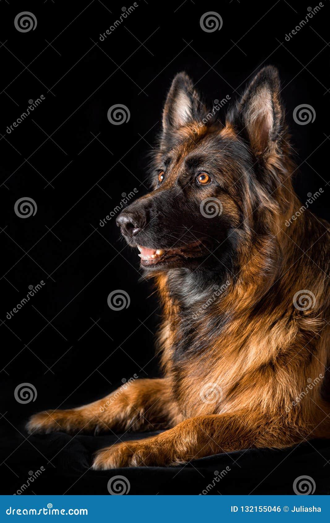 Собака немецкой овчарки портрета студии красивая