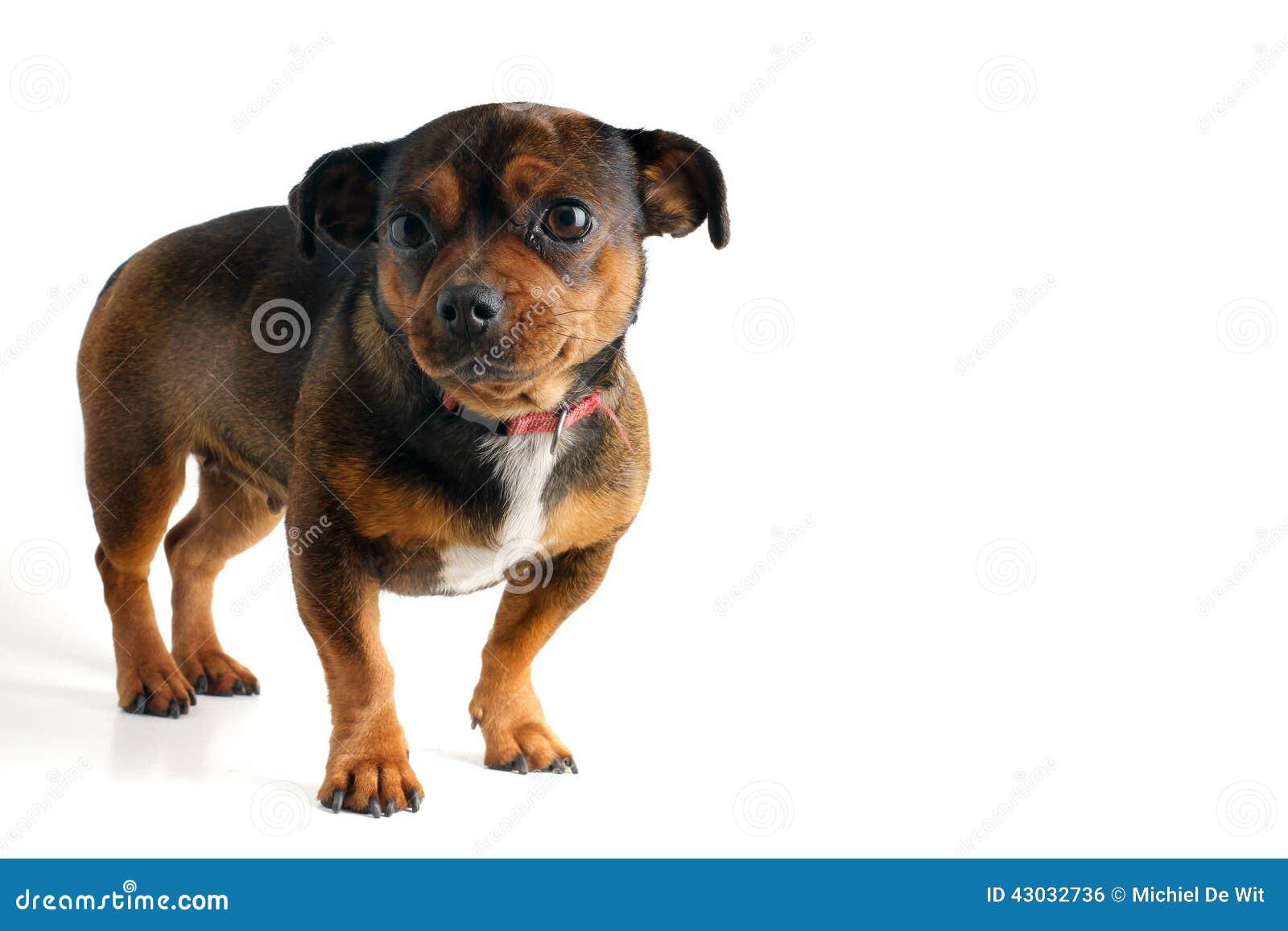 собака немногая