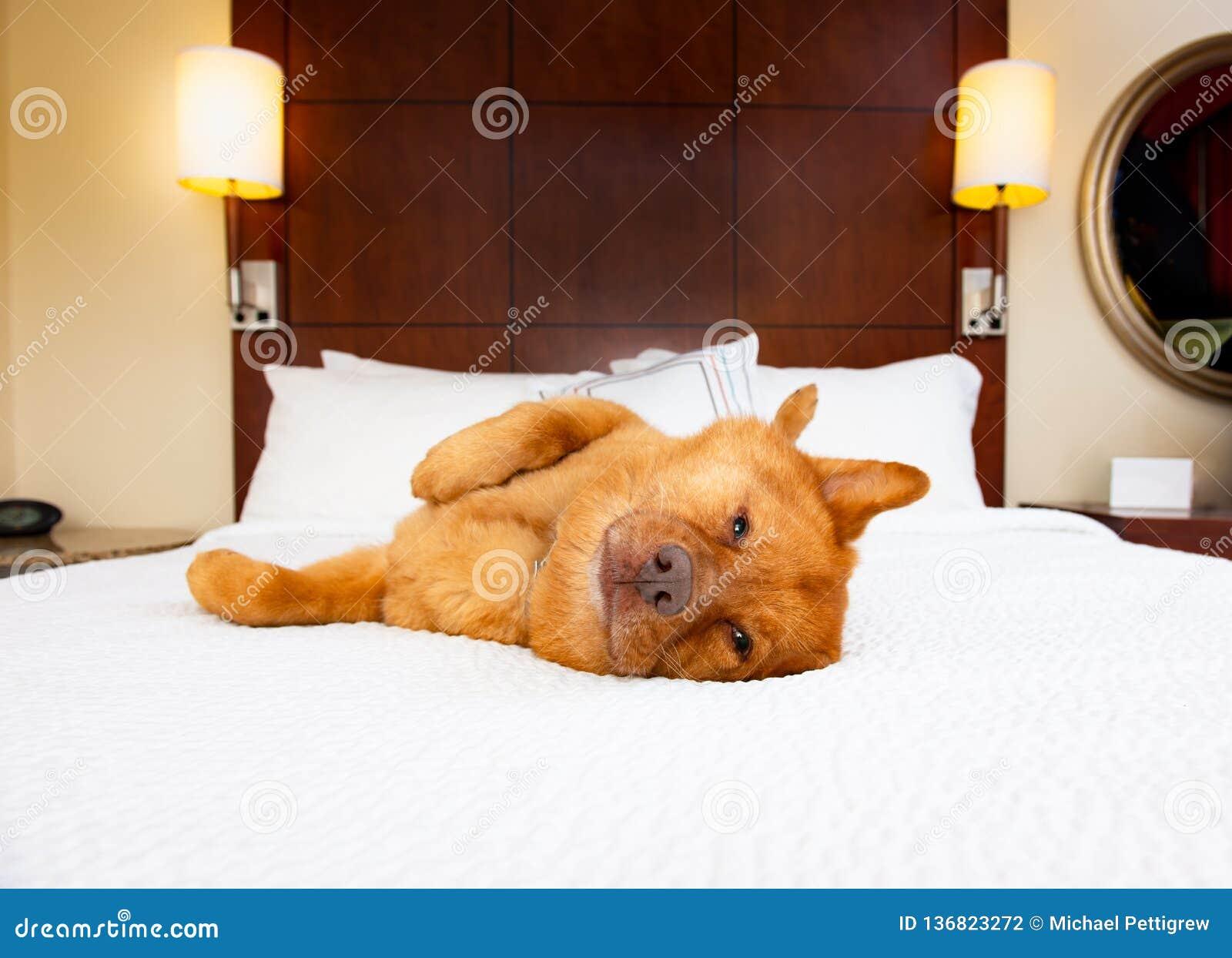 Собака ослабляя в кровати гостиницы