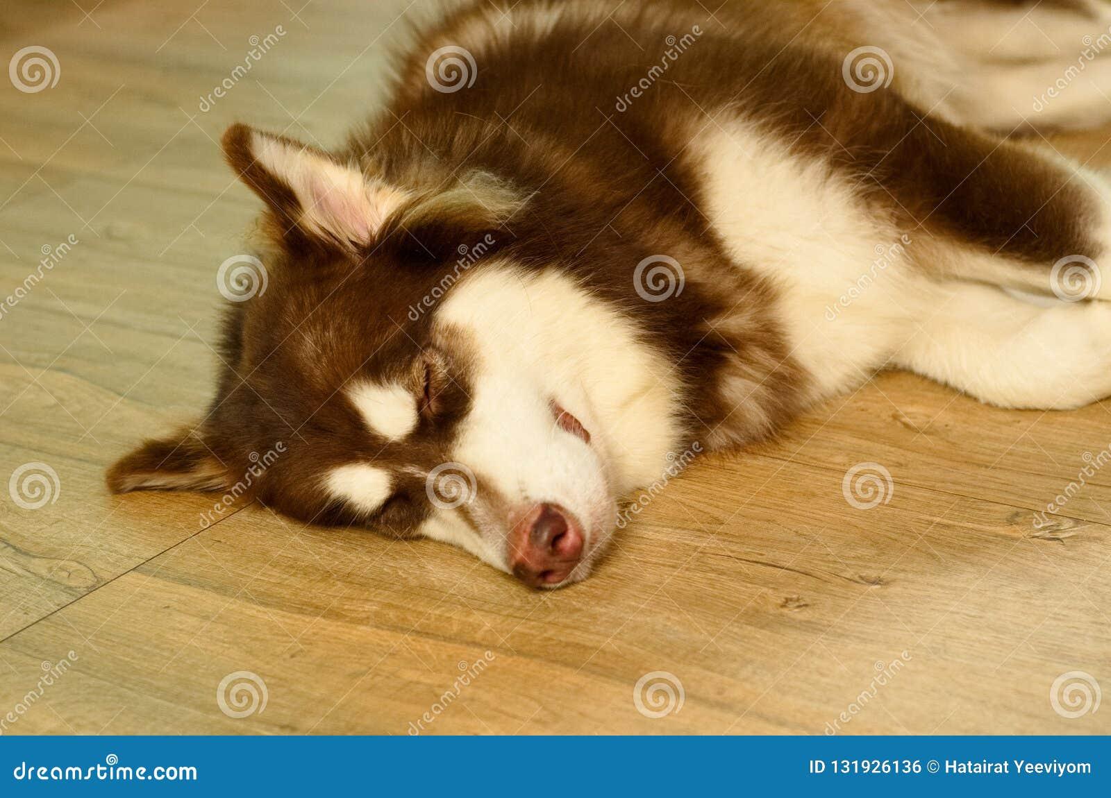 Собака отрочества коричневая и белая сибирская сиплая кладет dow