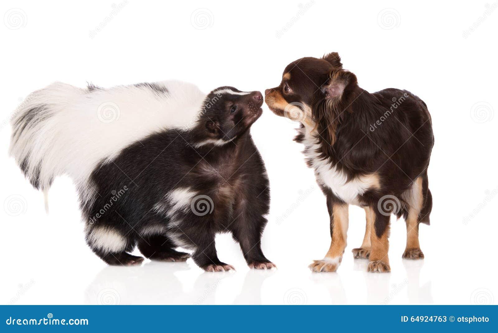 Собака скунса и чихуахуа