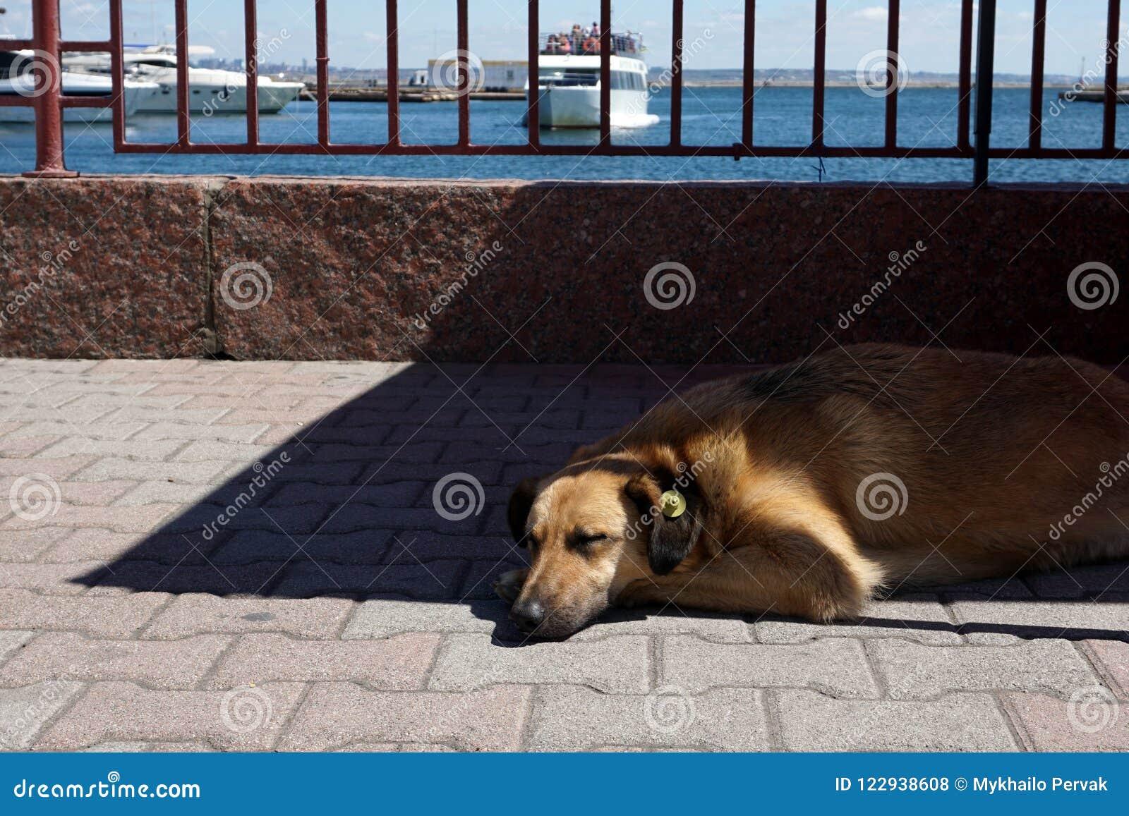 Собака спать на морском порте с желтым личным знаком уха который значит простерилизованный