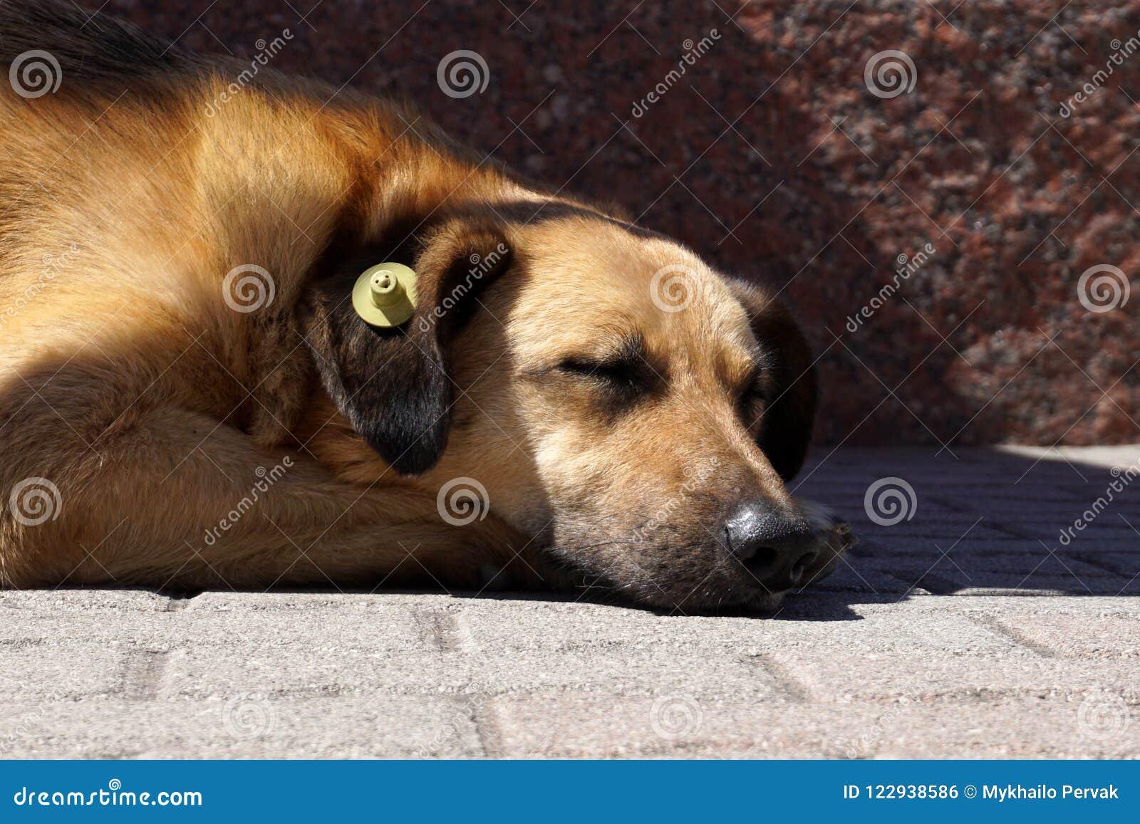 Собака спать с желтым личным знаком уха который значит простерилизованный