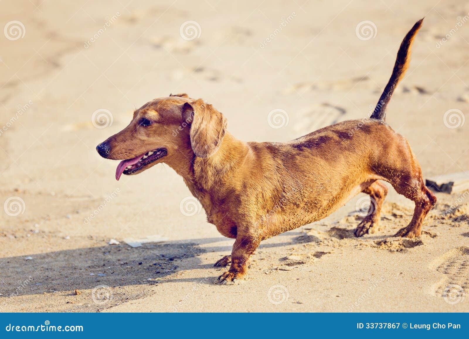 Собака таксы в пляже