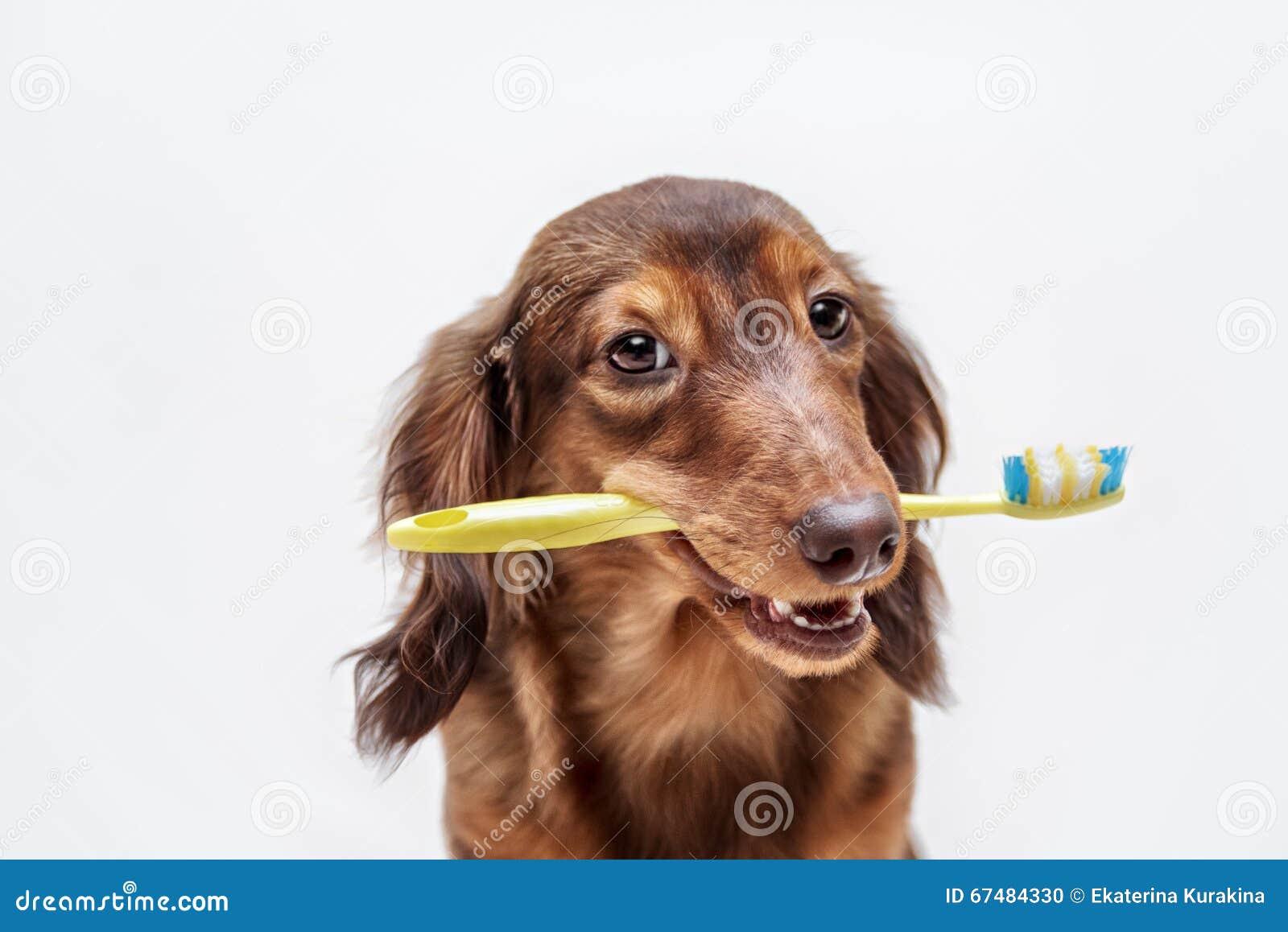 Собака таксы с зубной щеткой