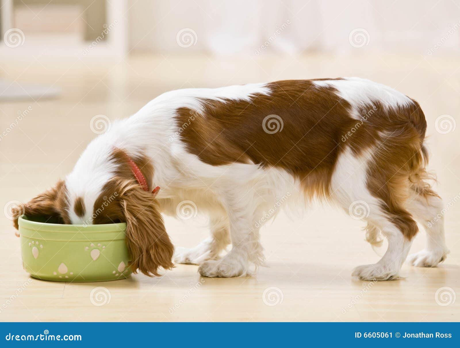 собака тарелки есть щенка