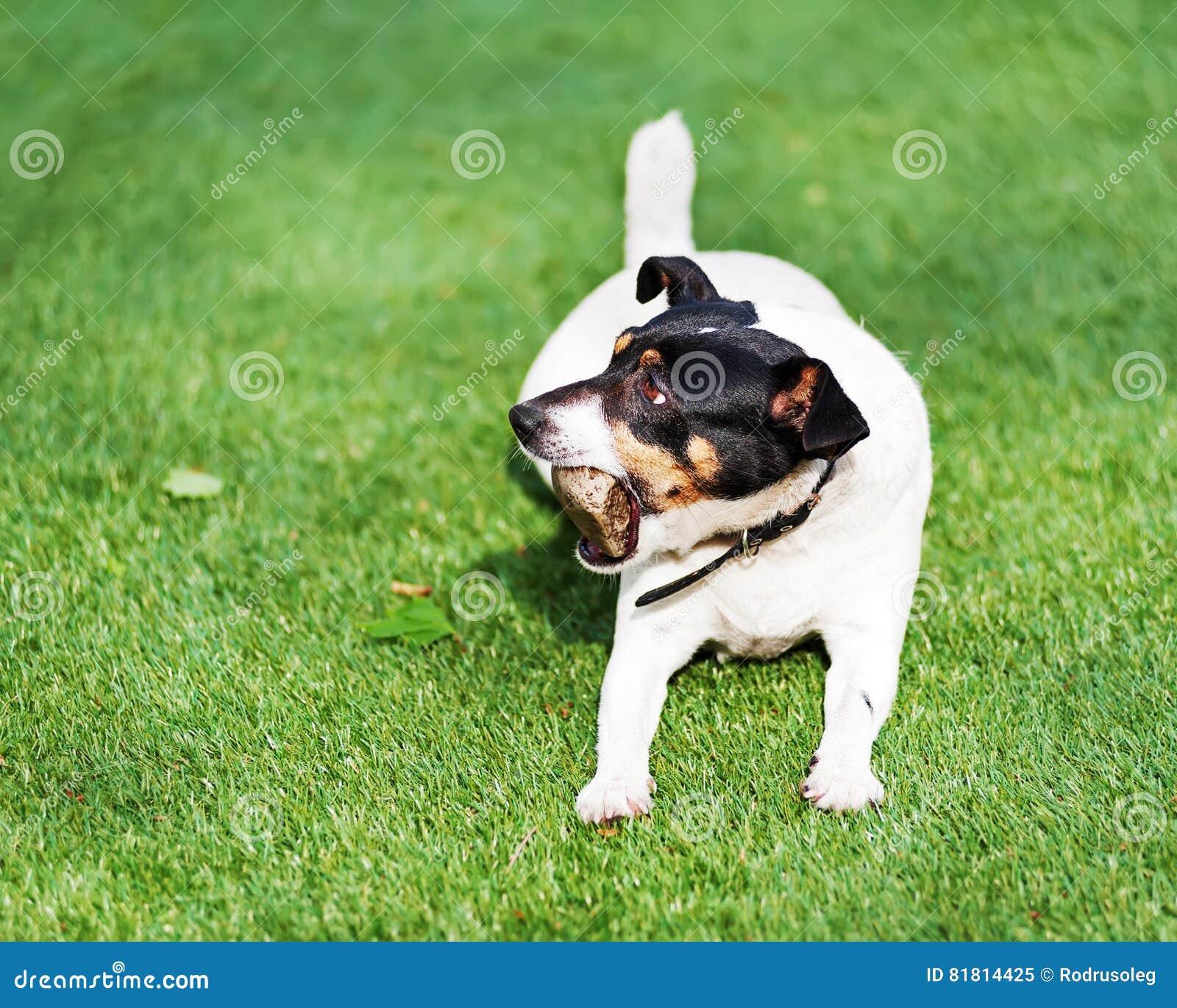 Собака терьера Джека Рассела на предпосылке природы