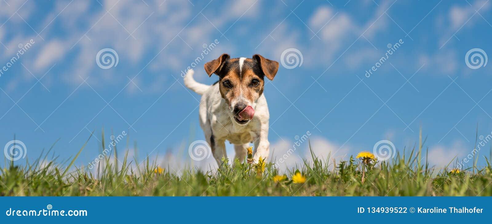 Собака терьера Джек Рассела в зацветая луге весны перед голубым небом