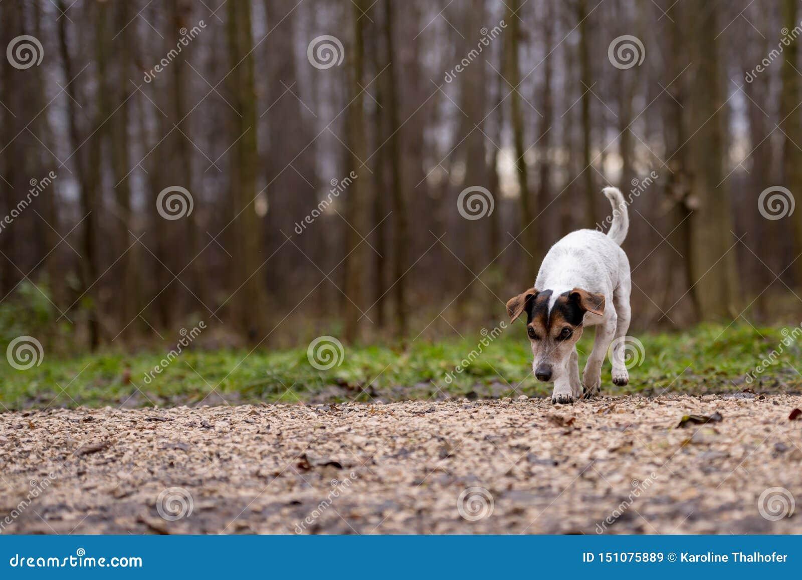 Собака терьера Джек Рассела милая следовать следом