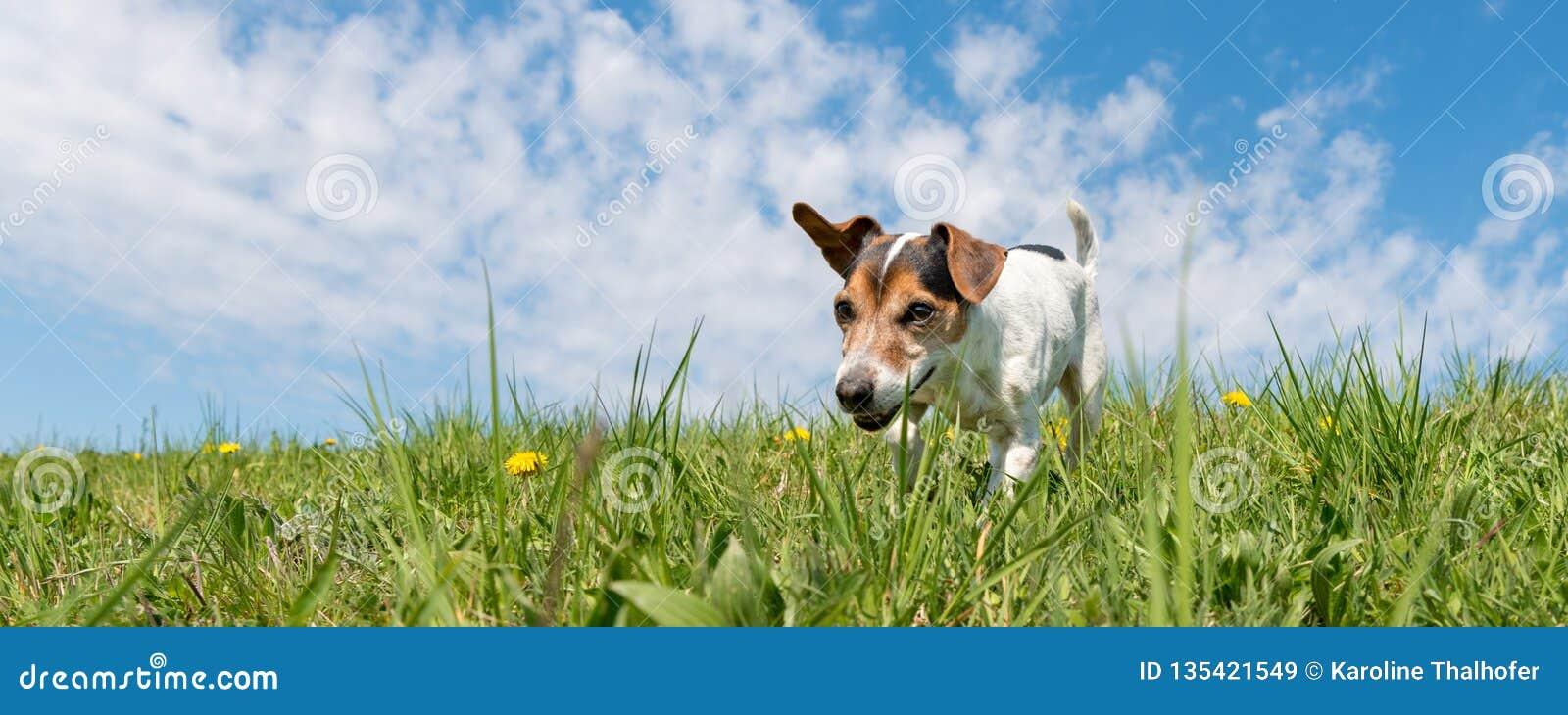Собака терьера Джек Рассела на луге перед голубым небом