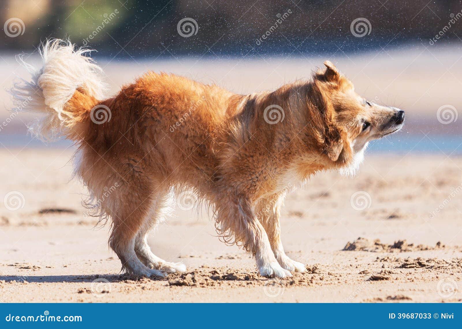 Собака тряся на пляже