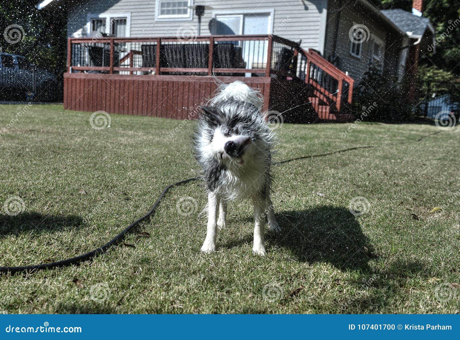 Собака тряся с воды в задворк