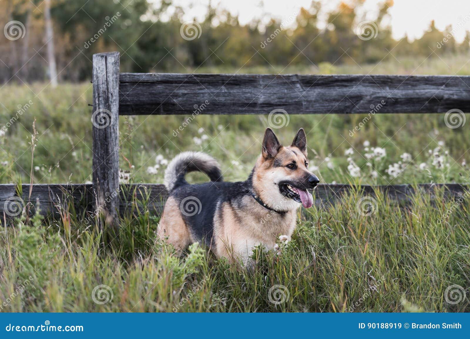 Собака фермы