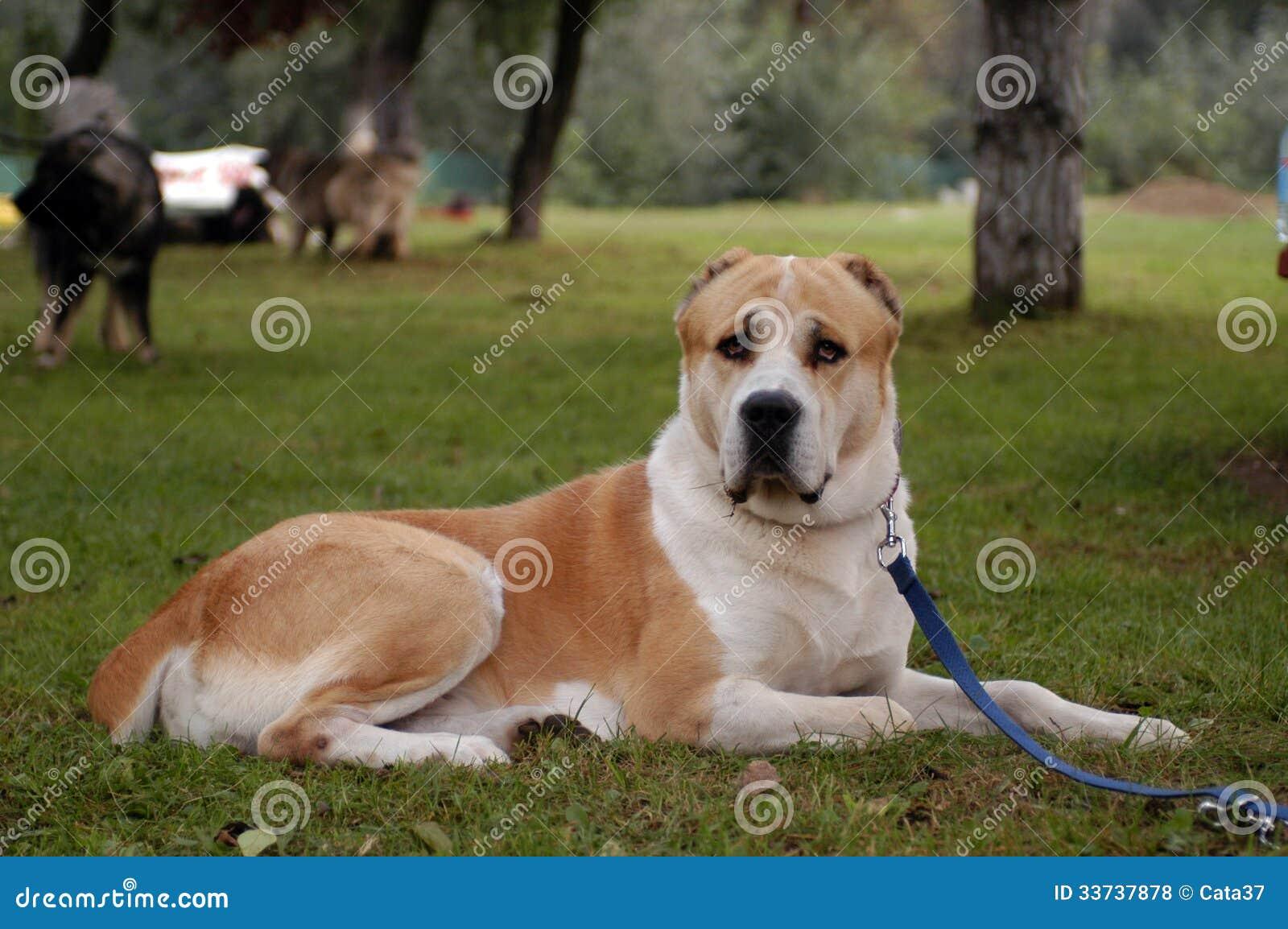 Собака чабана Средней Азии