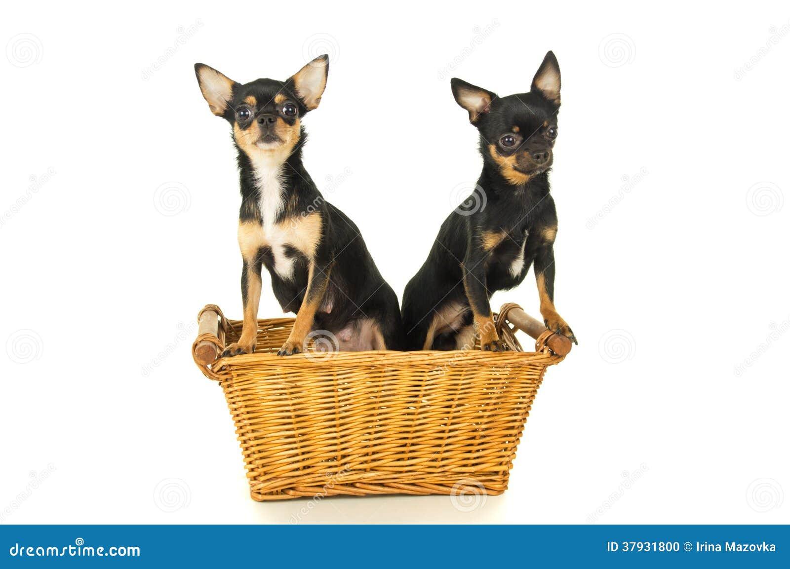 Собака 2 чихуахуа сидя в корзине