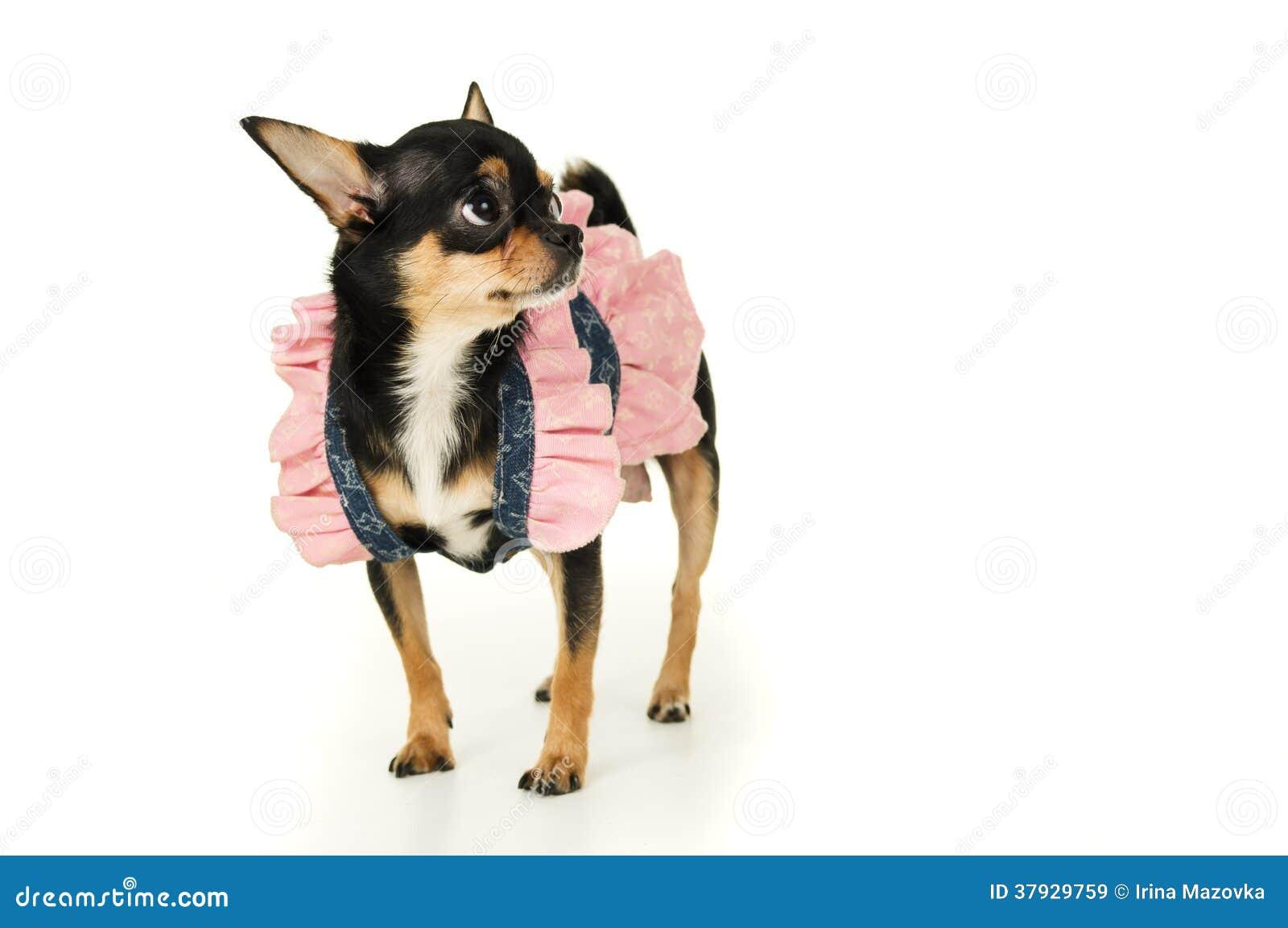 Собака чихуахуа стоя в изолированном платье